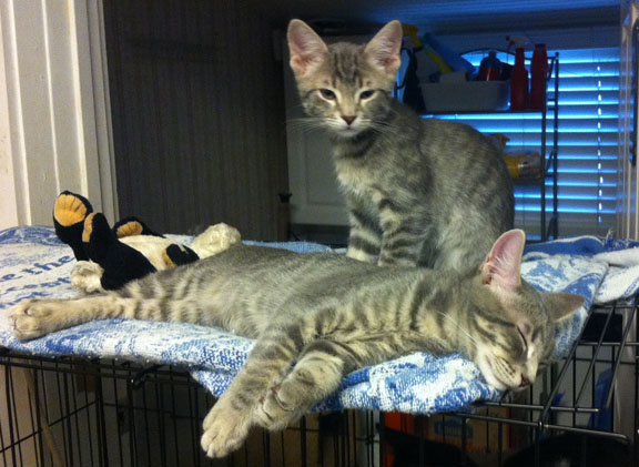 Cinco and Mayo are available for adoption at Ayla's Acres No-Kill Animal Rescue. Contributed image