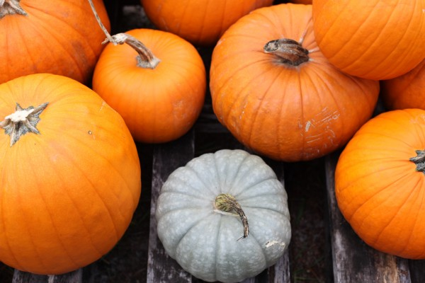 These pumpkins are available at River of Life pumpkin patch,
