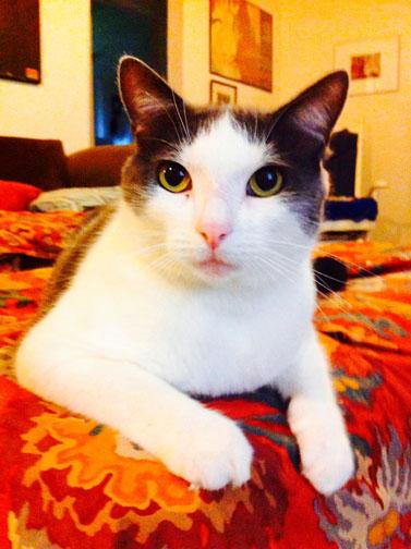 Sheldon the cat available at Ayla's Acres No-Kill Animal Shelter