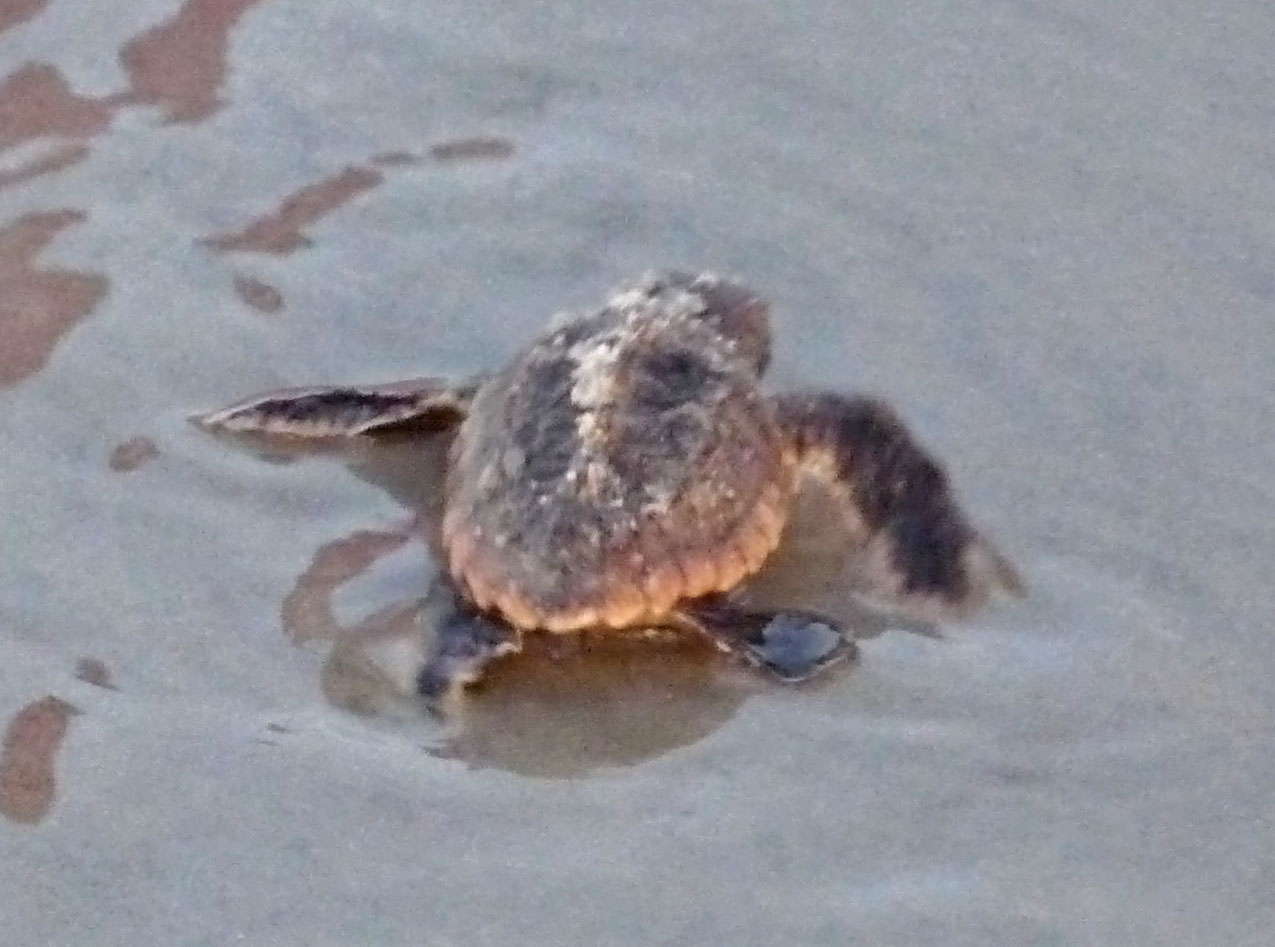 A Loggerhead hatchling is pictured at St. Augustine Beach several years ago. Photo by LORRAINE THOMPSON